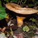 Autumn fungi: brown roll-rim