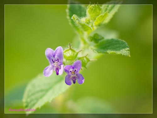 Purple macro