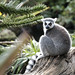 Ring Tailed Limur