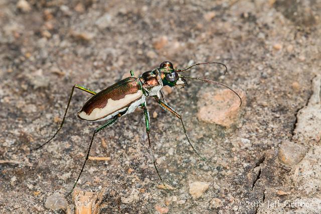 Tiger Beetle (Eunota circumpicta)