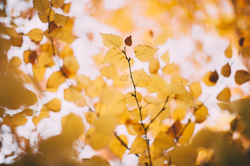 birch trees-44
