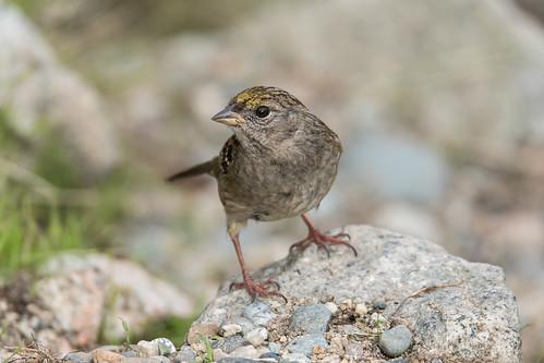 britishcolumbia canada northamerica robertscreek sunshinecoast bird fauna goldencrownedsparrow sparrow zonotrichiaatricapilla