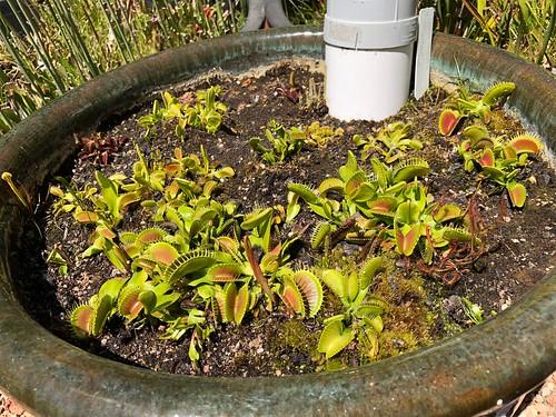 Venus' flytrap collection, Spring 2018