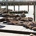 San Fran Sea Lions by Eddie K. Photo