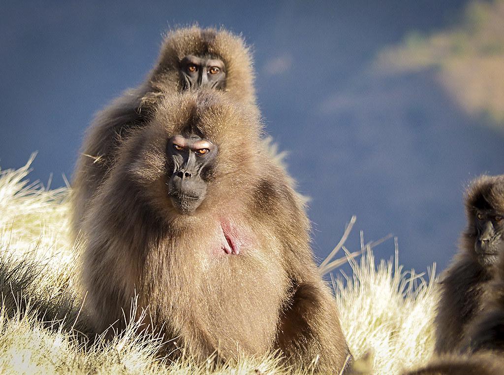 FA12 FA48 Lui2m2 (Etiopia) - Los geladas dueños de las montañas - Tomada en Montañas Simien el 22-01-16