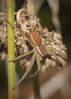 Aractober 18 - Dolomedes fimbriatus (Raft spider)