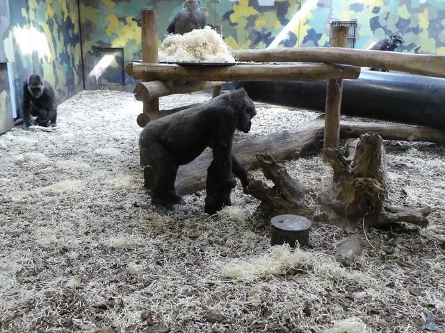 Innenanlage Gorillas, Zoo Givskud