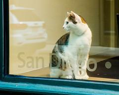 San Diego Cat