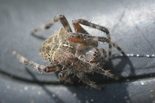 This small Araneus spider was in my truck