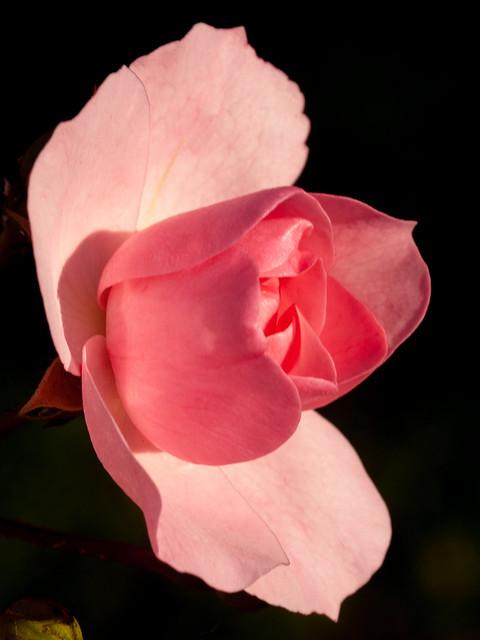 365.292 - Rose, Olympus E-30, SIGMA 105mm F2.8 MACRO