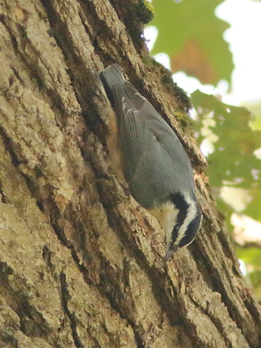 Red-breasted Nuthatch 08-20180920