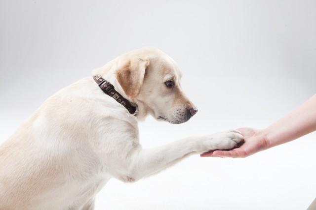 犬が自らお手をする教え方