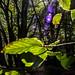 Sunburst Beech leaves