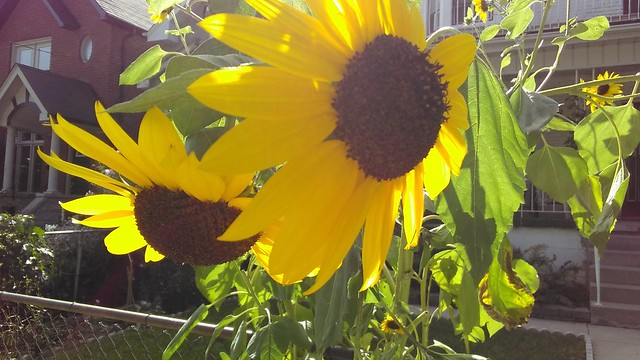 Two sunflowers, Bartlett Avenue #toronto #dovercourtvillage #bartlettavenue #flowers #yellow #sunflower #latergram