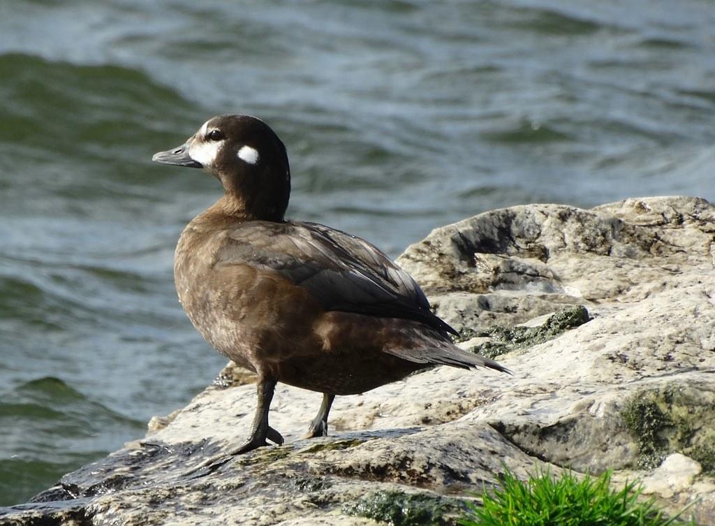 Harlequin Duck - Holland SP