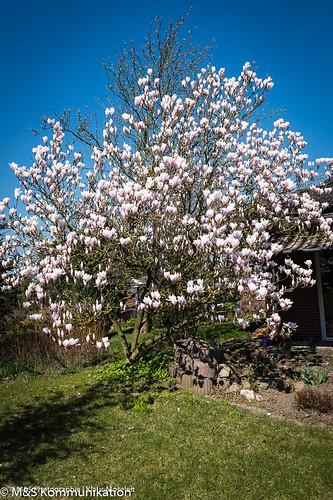 Magnolie aufgenommen im heimischen Garten - Magnolia photographed in the home garden