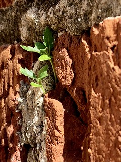 Buttercup flowers growing in bricks