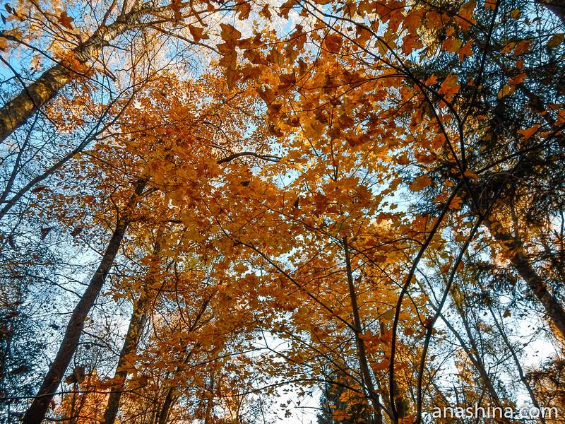 Золотой полог, лес, Московская область