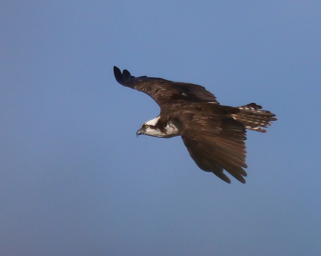 Osprey in Flight - 1