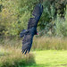 Turkey Vulture2 by Wee Malky
