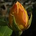 Raindrops on Roses:    280/365