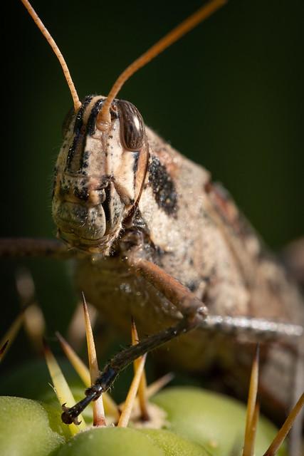 Locust 8614