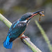 Kingfisher 180924929.jpg