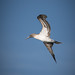 Blue Footed Booby (Sula nebouxii) por Photo Patty