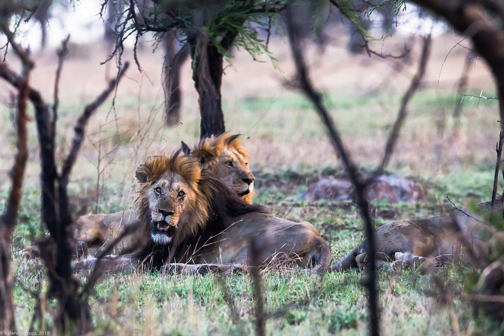 Serengeti_17sep18_07_lei satui2
