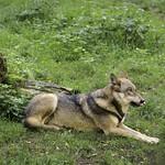 Leckermaul - Wolf liegt im Gras  - Schleswig-Holstein - Germany
