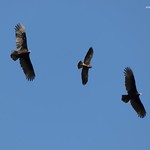 2018- Migración de gavilanes