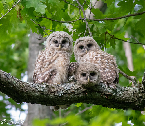 Barred Owlets