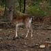 PA080257 Fallow Deer.