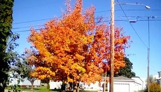 October Maple -TMT