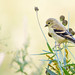American Goldfinch in the Wildflowers 02
