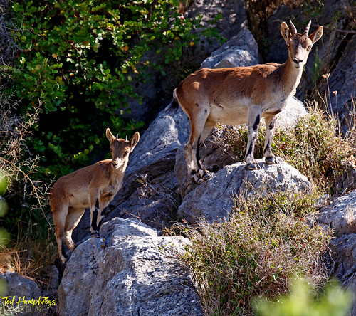 Mother and infant Ibex near Casares, Andalucia