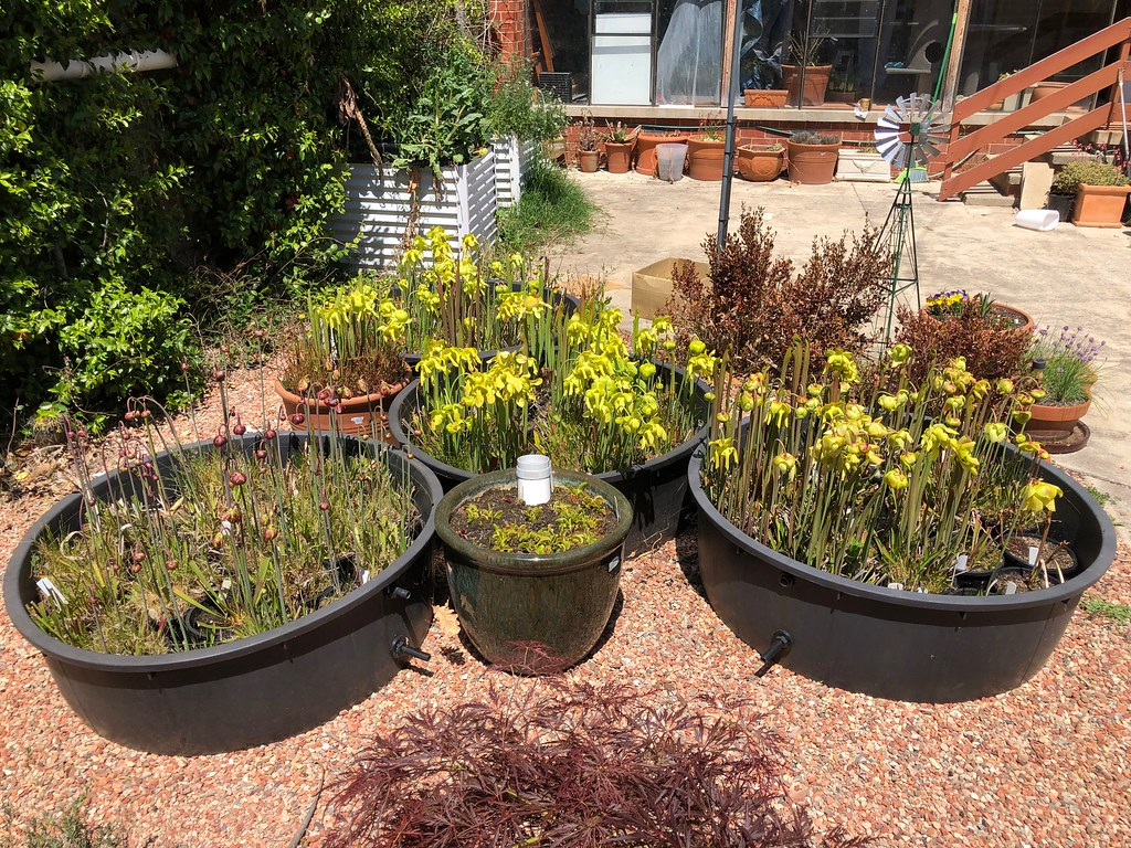Sarracenia collection in flower, 2018-2019 season