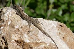 Catalonian Wall Lizard (Podarcis liolepis) male ...