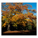 Turkey Oak, Autumn in Hackney, East London, England. by Joseph O'Malley64
