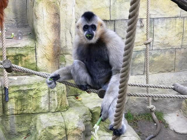Gibbon, Zoo Osnabrück