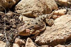 Texas short-horned lizard