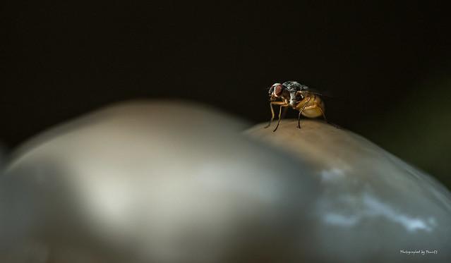 Insekten - Fliege, Nikon D810, AF Micro-Nikkor 200mm f/4D IF-ED