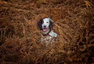 Rupert in the Autumn Bracken