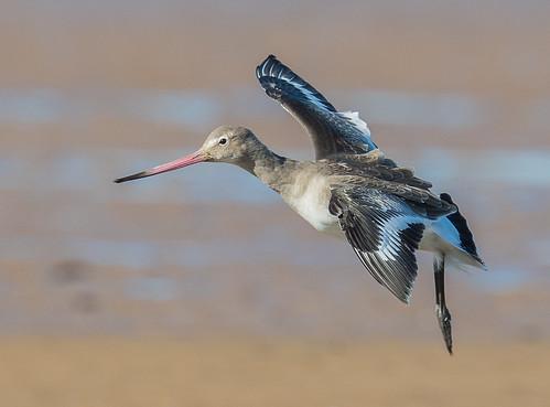 Black Tailed Godwit. Titchwell beach, Norfolk. DSC_0495.jpg