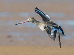 Black Tailed Godwit. Titchwell beach, Norfolk. DSC_0495.jpg