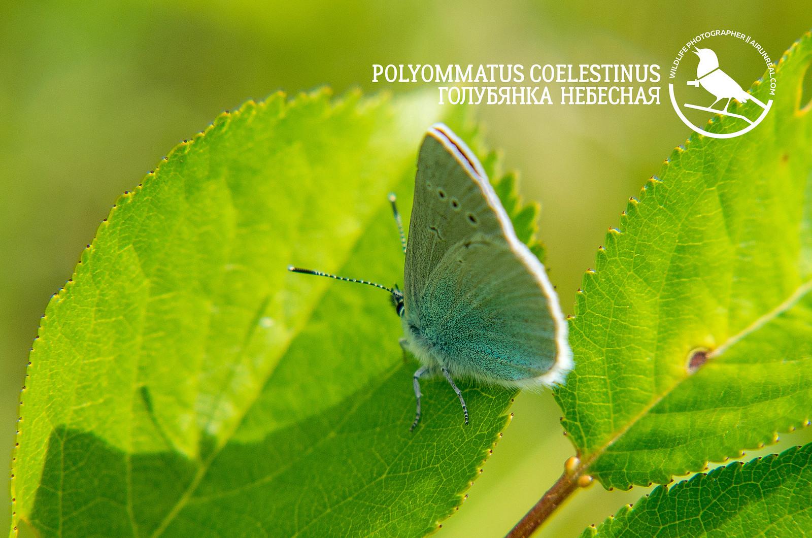 Polyommatus coelestinus // 20181018