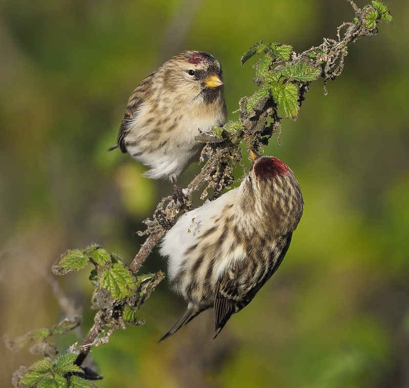 Redpolls - Mealy and Coue's Arctic (top)