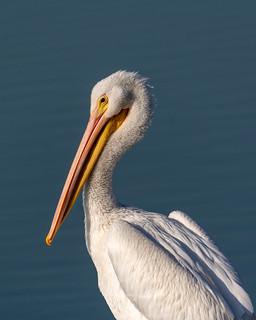 White Pelican on Lake Cunningham