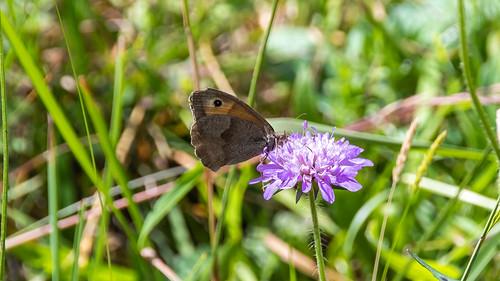 Meadow Brown Adelboden 04 July 2018  (16)