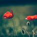 Poppies by Sorin Mutu